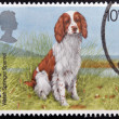 UNITED KINGDOM - CIRCA 1979: A Stamp printed in Great Britain shows a Welsh Springer Spaniel, circa 1979 — Stock Photo