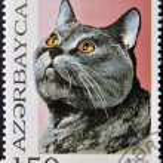 AZERBAIJAN - CIRCA 1995: A stamp printed in Azerbaijan shows cat, Chartreux, circa 1995 — Stock Photo #29133837