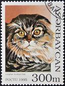 AZERBAIJAN - CIRCA 1995: A stamp printed in Azerbaijan shows cat, Scottish Longhair Fold, circa 1995 — Stock Photo