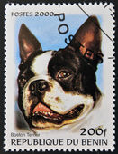 BENIN - CIRCA 2000: A stamp printed in Benin shows a dog, Boston Terrier, circa 2000 — Foto de Stock