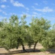 Stock Photo: Olive groves in Andalucia