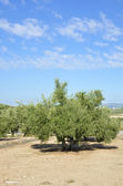 Olive groves in Jaen, andalucia — Stock Photo