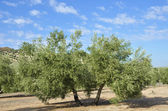 Olive groves in Andalucia — Stock Photo