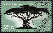 SOUTH WEST AFRICA - CIRCA 1967: A stamp printed in RSA shows Umbrella Thorn, Acacia tortilis, circa 1967 — Stock Photo