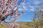 Field of almond blossoms — Stock Photo