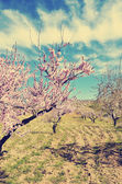 Field of almond blossoms, vintage — Stock Photo