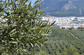 Olive tree and Rute village in the background — Stock Photo