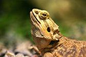 Retrato de iguana. — Foto Stock