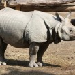 Indian rhino - Foto de Stock