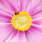Uğur böceği üzerinde pembe çiçek — Stok fotoğraf