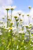 Daisies flowers — Stock Photo