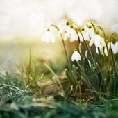 Snowdrop flowers. — Stock Photo