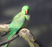 Parrot on a branch — Stock Photo