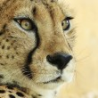 Stock Photo: Portrait of cheetah.