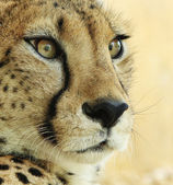 Portrait of a cheetah. — Stock Photo