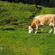 White and brown cow in a green grass meadow — Stock Photo #12508904