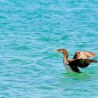 Departing cormorant — Stock Photo