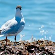 Stock Photo: Gull on seaweed
