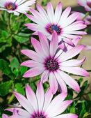 Three daisies — Stock Photo