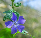 Periwinkle and leaves — Stock Photo