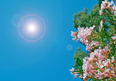 Oleanders on a clear day — Stock Photo