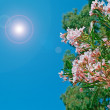 Stock Photo: Oleanders on clear day