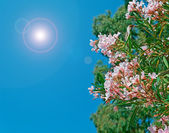 Oleanders on a clear day — Stockfoto