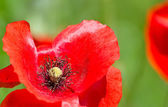 Poppy detail — ストック写真
