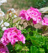 Pink and white geraniums — Stock Photo