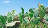 Prickly pears on a clear day — Stock Photo