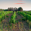 Stock Photo: Vineyard at dusk