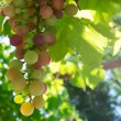 Grape in backlight — Stockfoto