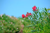 Red oleanders — Stock Photo