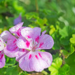 Wet geranium — Stock Photo