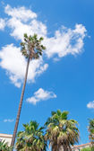Tall palm — Stock Photo