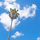 Tall palm — Stock Photo