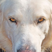 Dog stare at the camera — Stock Photo