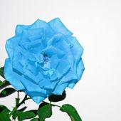 Turquoise rose on white — Stock Photo