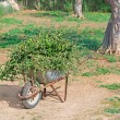 Wheelbarrow and leaves — Stock Photo
