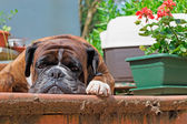 Boxer in the porch — Stock Photo