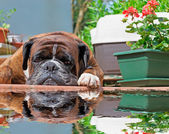 Boxer reflection — Stock Photo