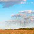 Flock over a field — Stock Photo