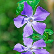 Periwinkle on the water — Stock Photo