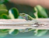 Lizard on the water — Stock Photo