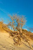 Dry tree on the sand — Stock Photo
