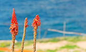 Kniphofia and sea — Stock Photo
