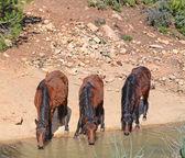 Three horses drinking — Stock Photo
