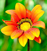 Wet orange flower — Foto Stock