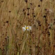 White flower on a yellow field - Stockfoto