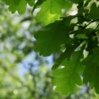 Oak leaves — Stock Video #12518628